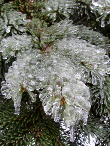 Iced Spruce Cambridge, Ontario Canada