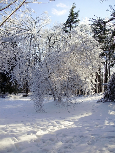 Ice and Snow Covered Birch Cambridge, Ontario Canada