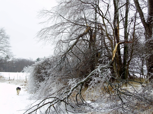 Tree Destroyed by Ice Cambridge, Ontario Canada