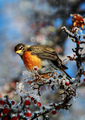 Robin on Icy Tree