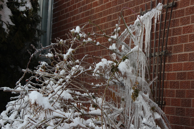 Rose Bush covered in icicles Markham, Ontario Canada