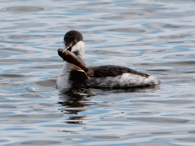 Horned Grebe with lunch! Fergus, Ontario Canada