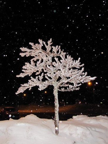 Snow covered tree at dark Springhill, Nova Scotia Canada