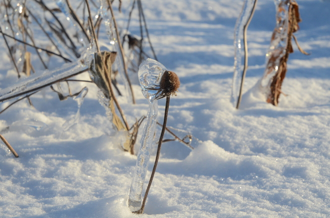 Thistle and Ice Separating Waterdown, Ontario Canada