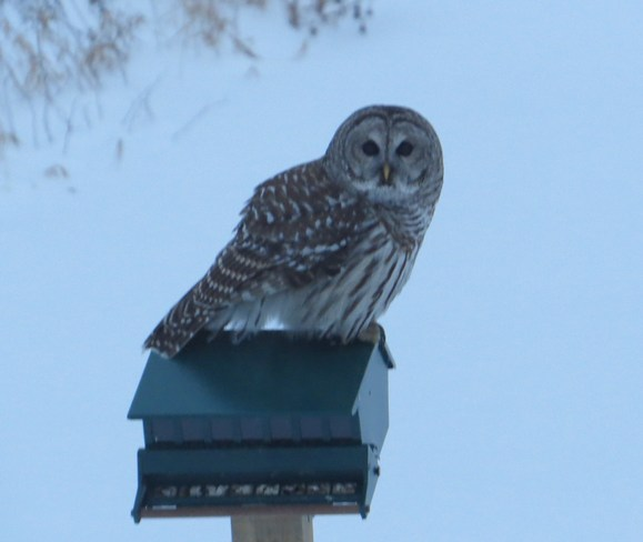 The owl returns for another visit Rutherglen, Ontario Canada