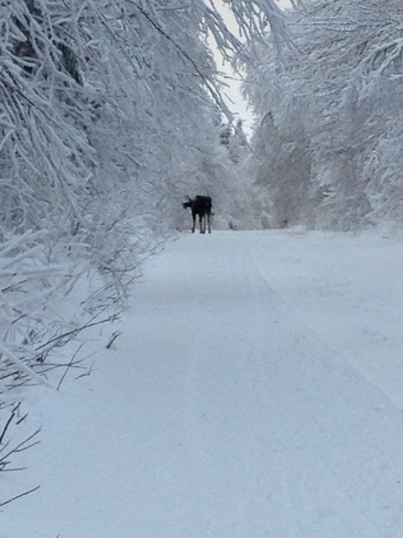 Moose on the Groomed Trails Moncton, New Brunswick Canada