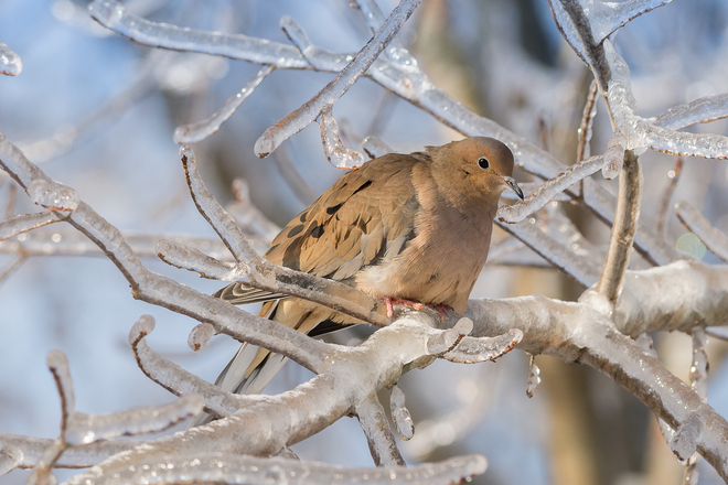 Mourning Dove on Ice Kingston, Ontario Canada
