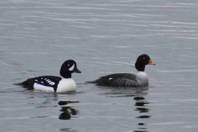 Barrow's Goldeneye Pair West Vancouver, British Columbia Canada