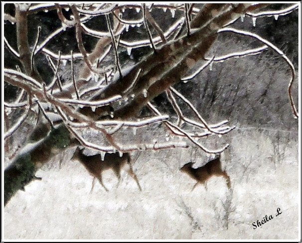 Deer In The Ice Storm Canning, Nova Scotia Canada