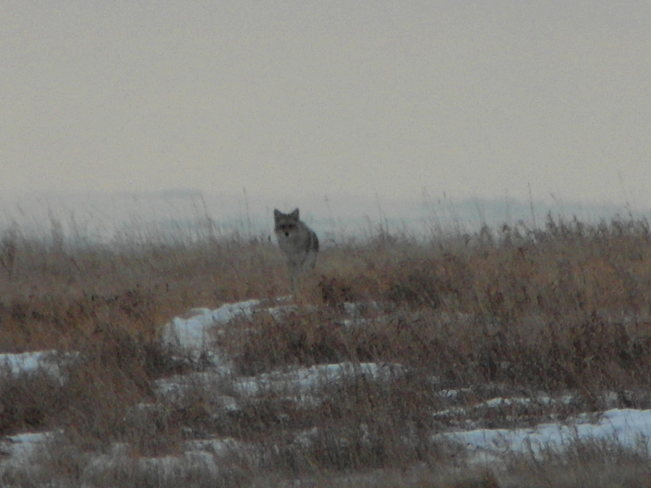 Nose hill.Appreciating wildlife.Giving them the respect they deserve Calgary, Alberta Canada