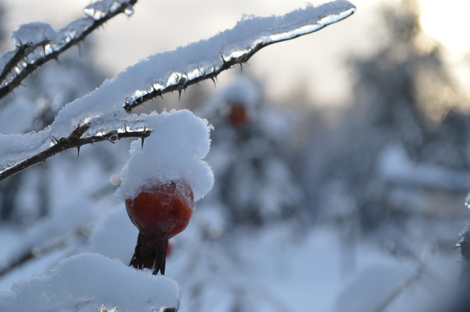 Icy Rose Hip Chipman, New Brunswick Canada
