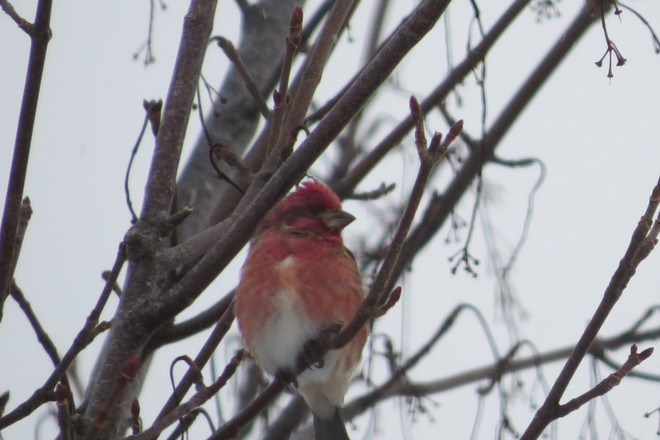 Purple Finch Mount Pearl, Newfoundland and Labrador Canada