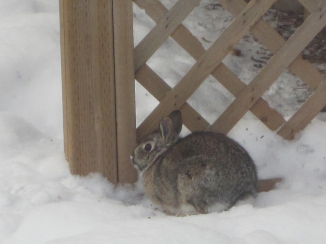 One Big Cottontail