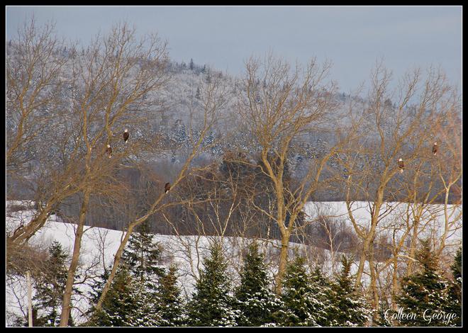 The Eagle Trees Canning, Nova Scotia Canada
