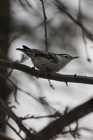 White Breasted Nuthatch Canmore, Alberta Canada