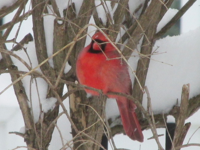Cardinal on the branch Beaconsfield, Quebec Canada