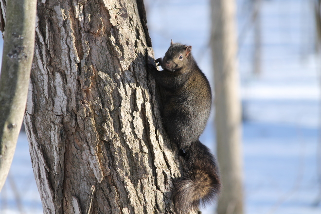 Squirrel on a tree Kingston, Ontario Canada