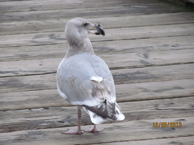Steven Seagull on the peir White Rock, British Columbia Canada