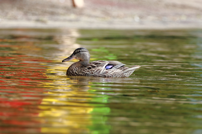 Duck on colorful water Montréal, Quebec Canada