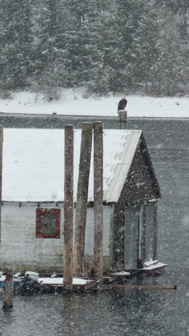 Bald eagle looking for lunch Balfour, British Columbia Canada