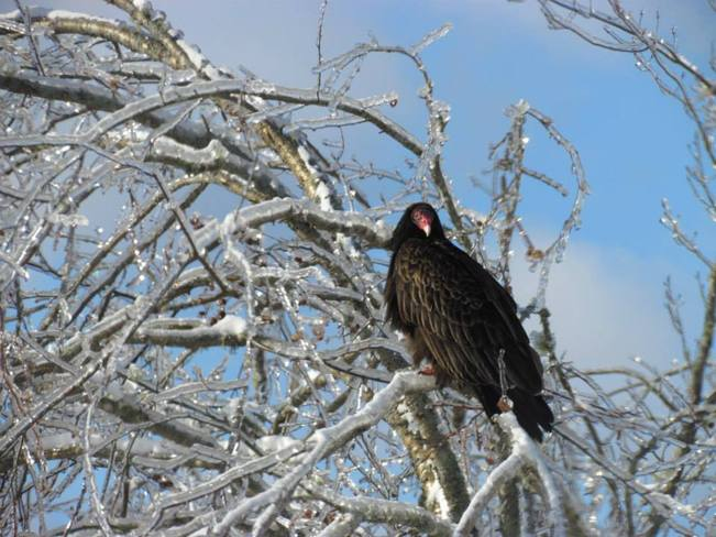 Vulture in Tree - Ice Storm in NB St. George, New Brunswick Canada