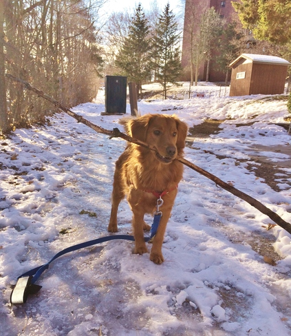 Marvin can always find a stick, even with all this snow Ottawa, Ontario Canada