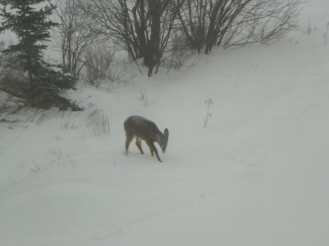 Deer Truro, Nova Scotia Canada