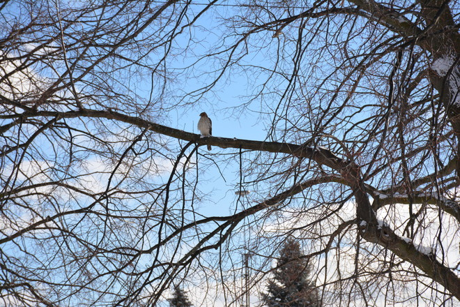 Hawk in tree beside our house St. Catharines, Ontario Canada