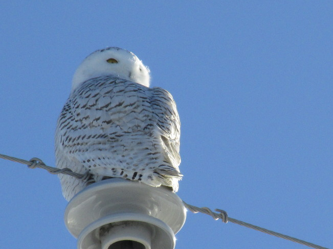 Snowy Owl on Hydro Pole Winchester Springs, Ontario Canada