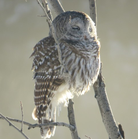 Bart our barred owl caught sleeping on the limb Rutherglen, Ontario Canada