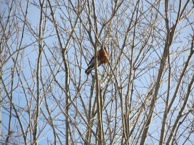 First Robin of 2014 Port Elgin, Ontario Canada