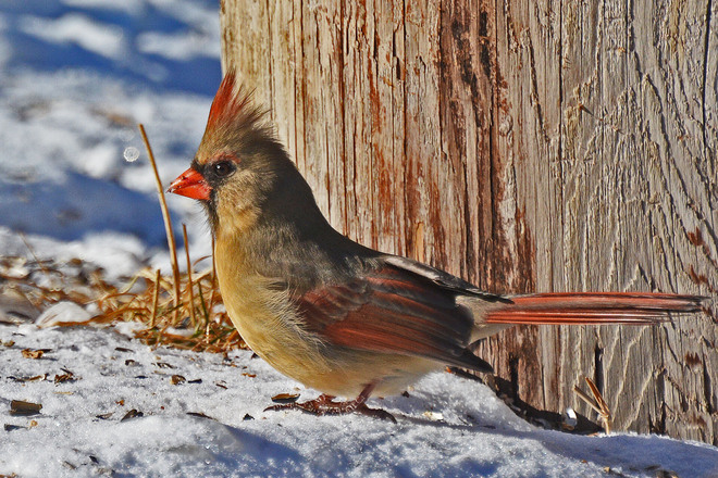 Female Cardinal St. Jacobs, Ontario Canada