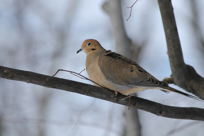 Mourning Dove Kingston, Ontario Canada