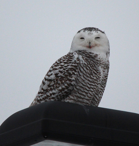 Snowy Owl Downsview, Ontario Canada
