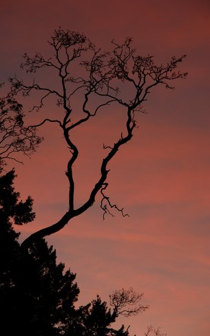 Sunset Highlighting Arbutus Branches