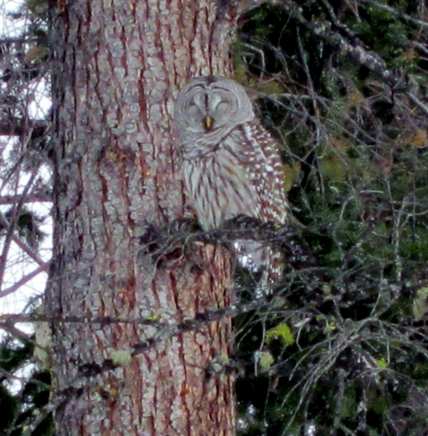 Christmas Barred Owl