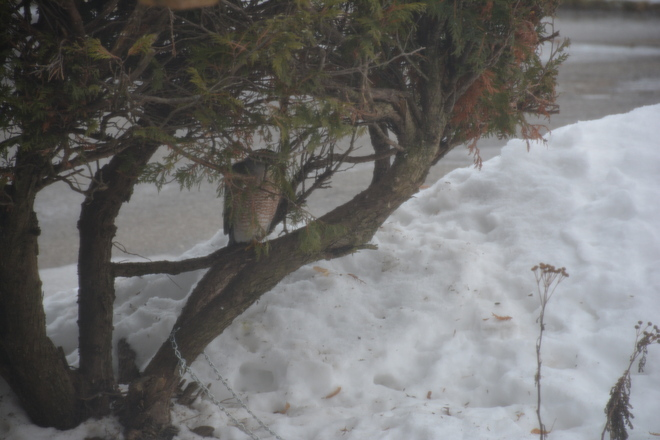Cooper's Hawk by my kitchen window St. Catharines, Ontario Canada