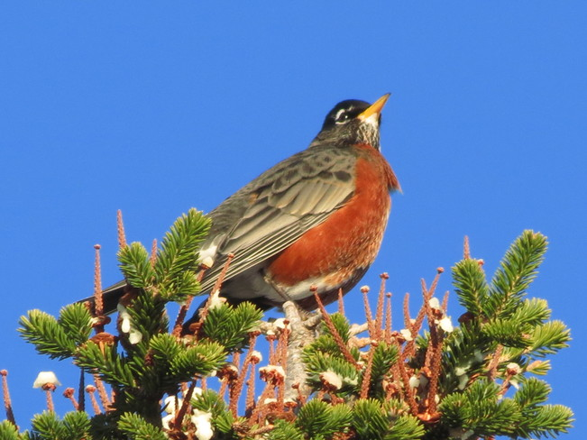 Robin on a tree top Conception Bay South, Newfoundland and Labrador Canada