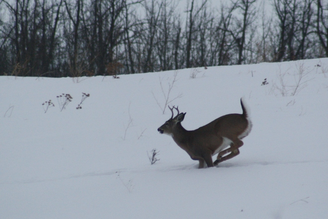 Leaping Whitetail deer Tofield, Alberta Canada
