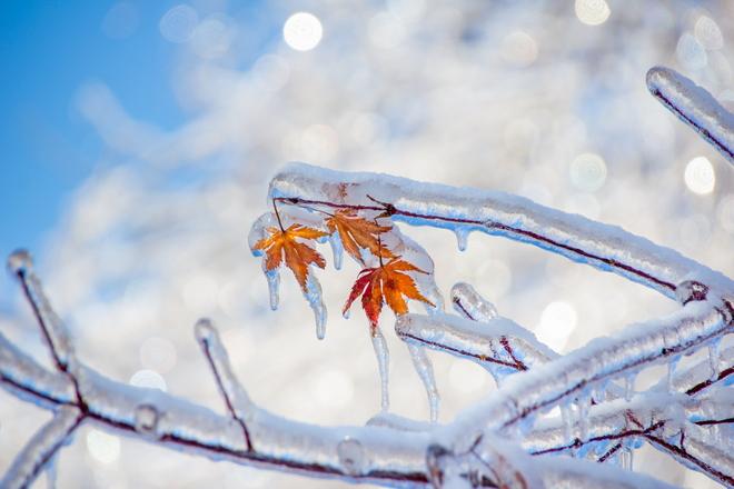 Ice Maple Toronto, Ontario Canada