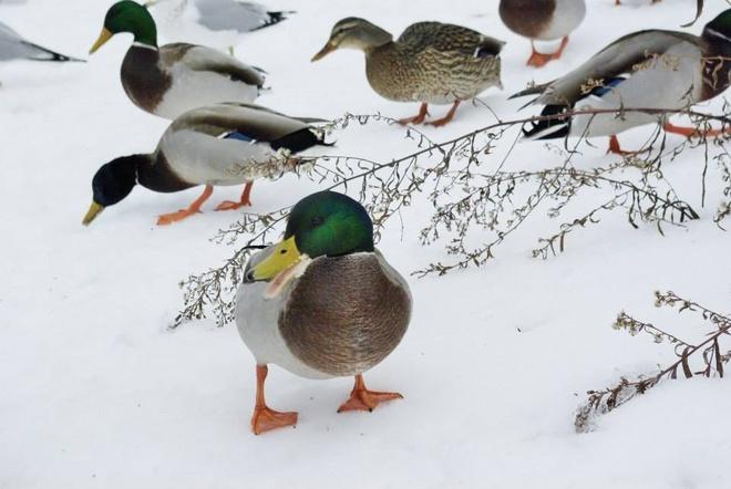 ducks at the lake Mississauga, Ontario Canada