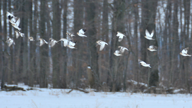 Snow Buntings on the wing Delhi, Ontario Canada