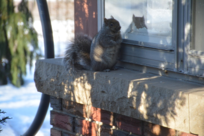 Squirrel seeking shelter St. Catharines, Ontario Canada