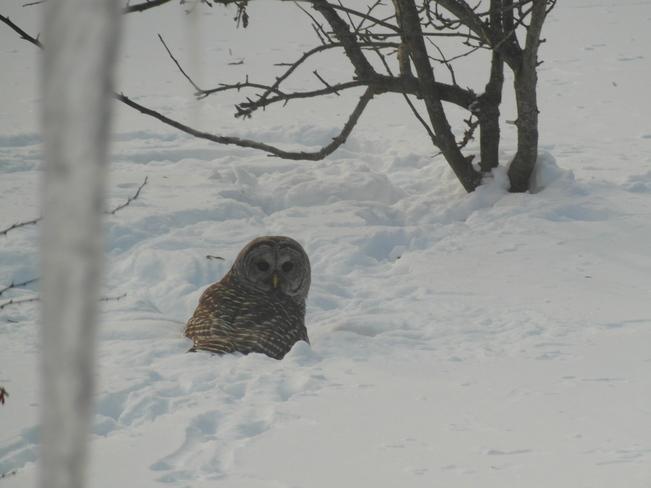 Owl Lefroy, Ontario Canada