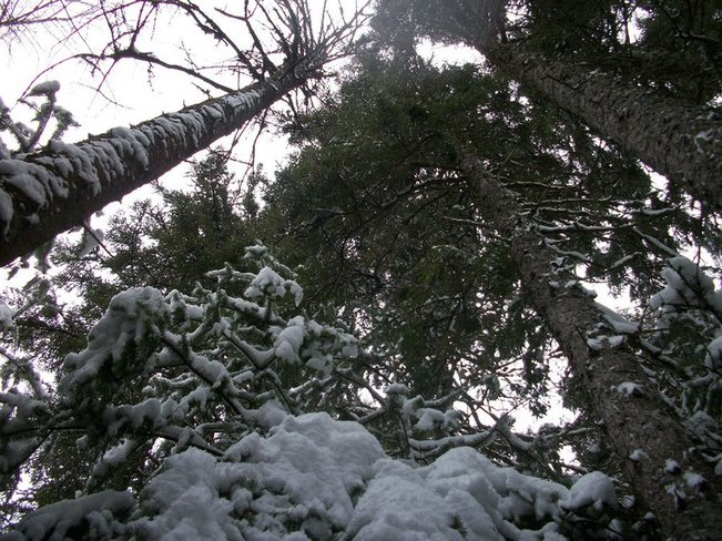 """The Worms Eye View"" of snowy trees Lower Sackville, Nova Scotia Canada"