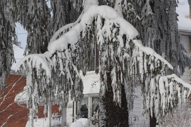 Snow on Tree Wroxeter, Ontario Canada