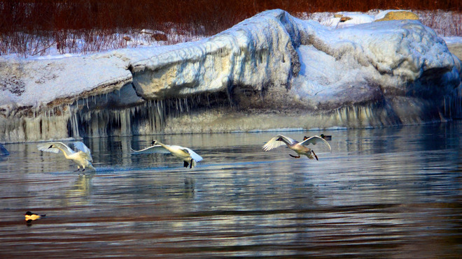 Trumpeter Swans glide in to the water Scarborough, Ontario Canada