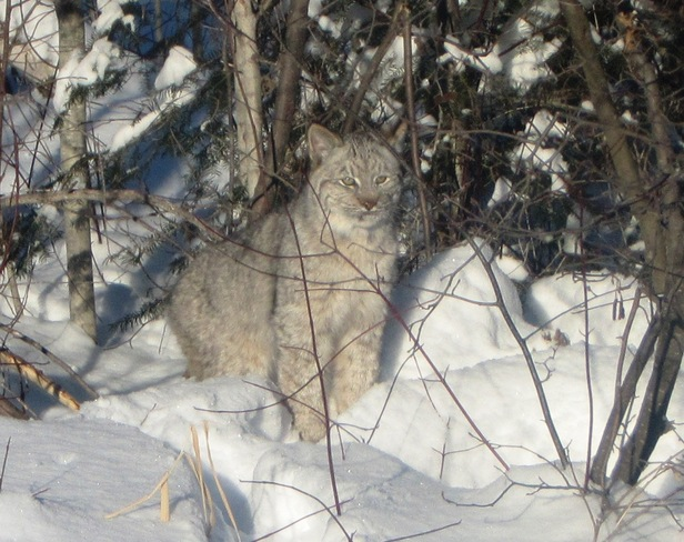 Lynx in the snow Pass Lake, Ontario Canada