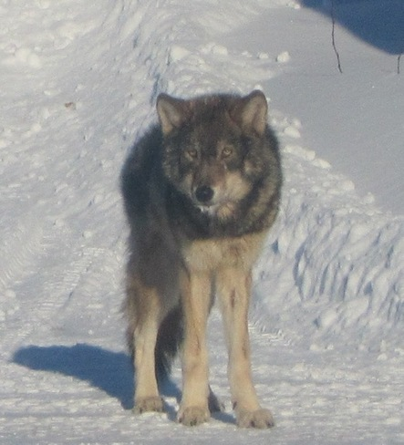 wolf in the wild Pass Lake, Ontario Canada