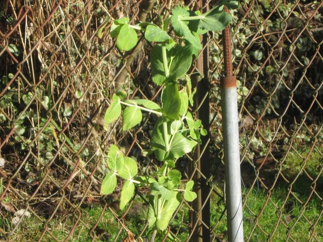 the peas are still growing!!! Surrey, British Columbia Canada